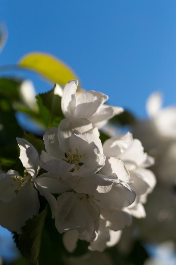 Äppelträd-12